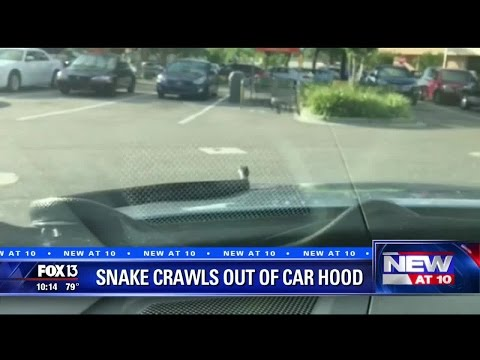 6-foot snake pops out of car's hood