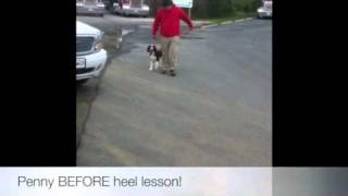 Springer Heeling Before/after! K9 Training, Northern Virginia