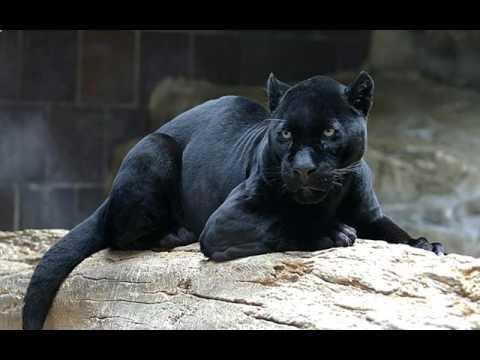 immagini pantera nera da