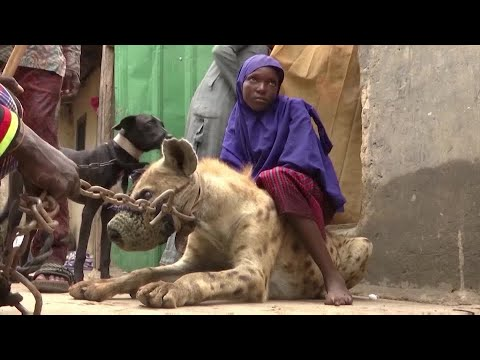 Nigeria's hyena culture clashes with conservation