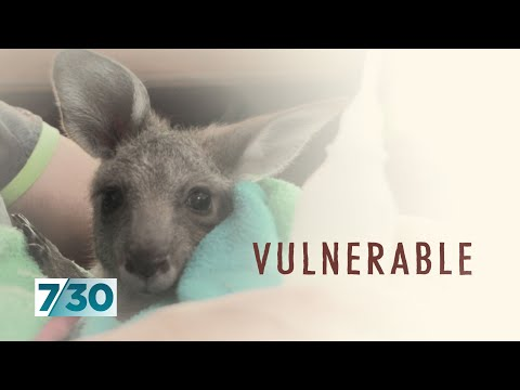 Australians are opening their homes to wildlife injured and orphaned in bushfires | 7.30