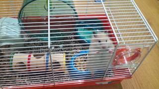 Ангорский хомяк / angora hamster
