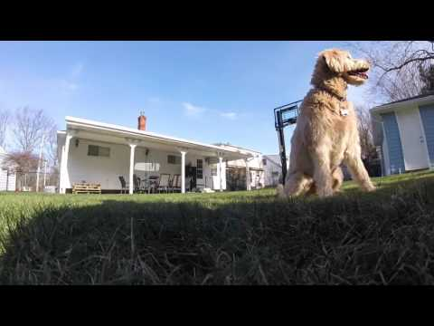 GoPro - Bella the Labradoodle - Day in the life/Frisbee