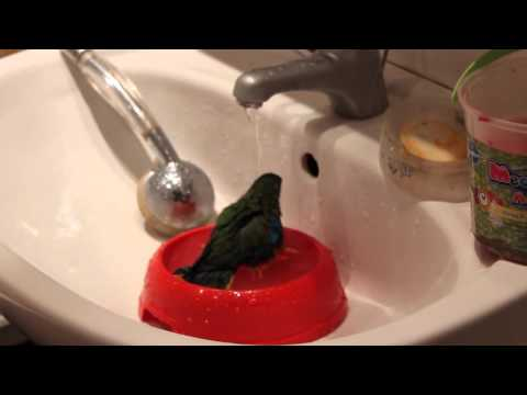 Травяной лазурный попугайчик купается в раковине