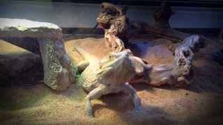 The Lizard, *Trailer*