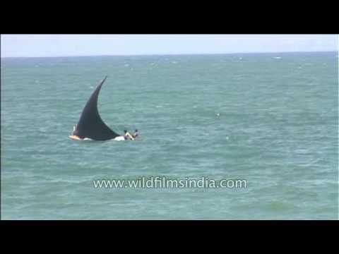 Shark in Arabian Sea waters, off Kerala???