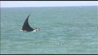 Shark in Arabian Sea waters, off Kerala???