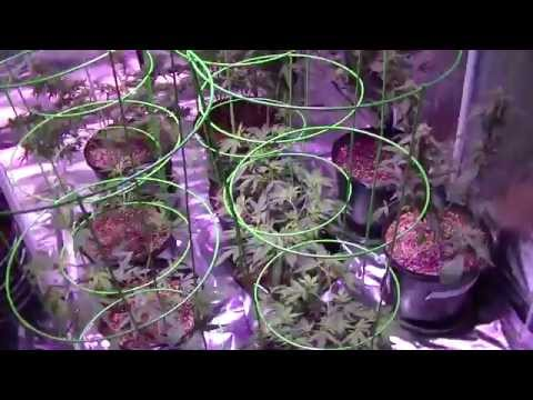 Roots Organic Soil Update - No Nutrients - 8x8 Flowering Tent Day 1