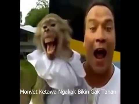 Video Lucu Monyet Ketawa Ngakak