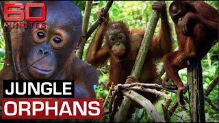 Jungle school raising endangered Orangutan orphans | 60 Minutes Australia