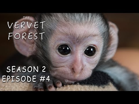 Two New Orphan Baby Monkeys Arrive At Our Animal Sanctuary - Vervet Forest S2 Ep. 4