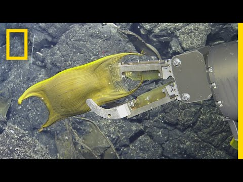 Rare Video: DeepSea Creature Incubates Eggs on Hydrothermal Vents  National Geographic