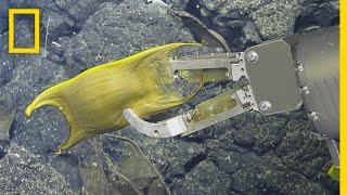 Rare Video: Deep-Sea Creature Incubates Eggs on Hydrothermal Vents | National Geographic