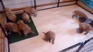 Potty Training Lab Puppies To Artificial Grass