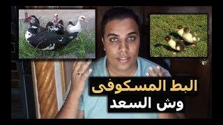 البط المسكوفى وش السعد // عشاق الدواجن