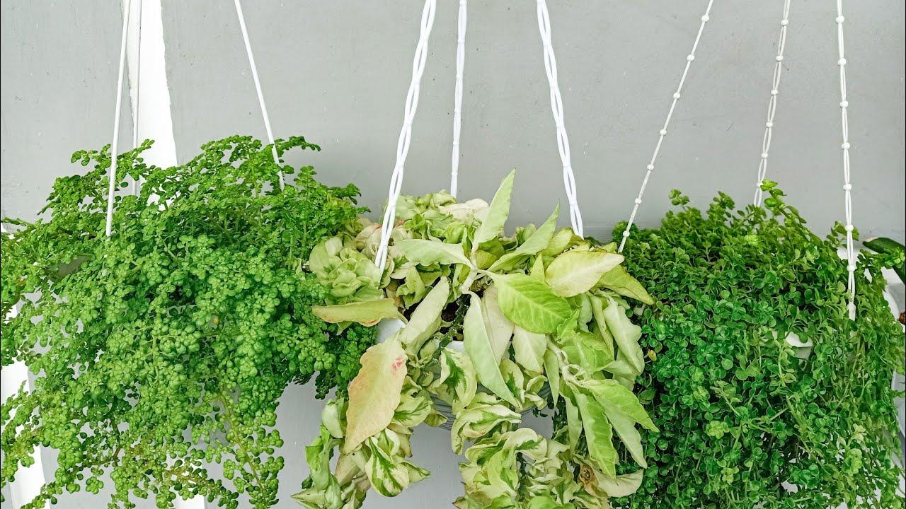 15 Jenis Tanaman Gantung Tahan Panas 15 Types Of Heat Resistant Hanging Plants Part 2 Youtube