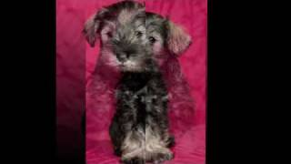 Miniature Schnauzer Puppies 7 Weeks Old