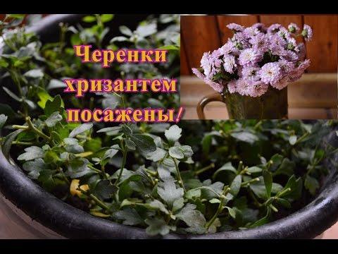 Хризантемы.  Черенкование хризантем осенью.  Мой эксперимент.