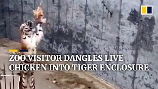 Visitor at Chinese zoo dangles live chicken into tiger enclosure