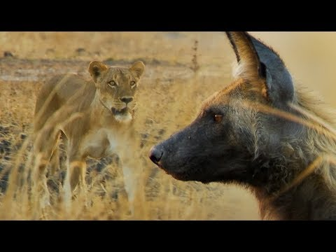 wild-dogs-vs-lioness-|-bbc-earth