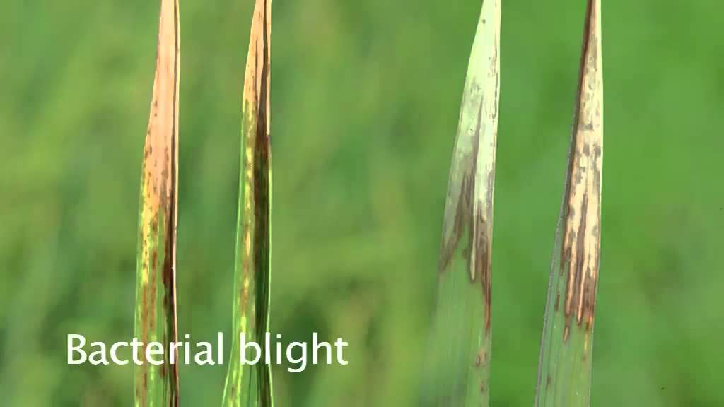 thesis on bacterial leaf blight of rice Characterization of bacterial leaf blight epidemic in the in irrigated and lowland rice bacterial leaf blight is devastating and can cause yield losses from 20.