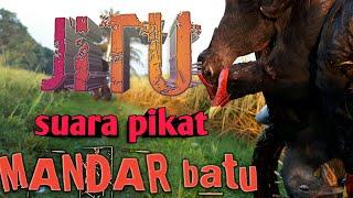 Gambar cover Suara Pikat MANDAR JANTAN