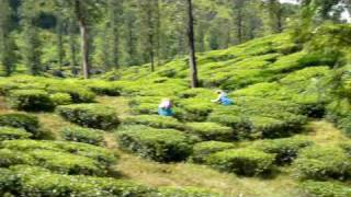 Wayanad Tea Fields