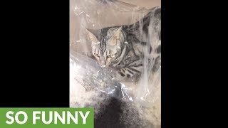 Playful cat humorously obsessed with plastic bag