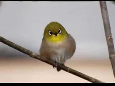Kicauan burung pleci Mp3 suara pleci untuk masteran pleci full isian gacor