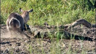 Crocodile Gives Waterbuck a Second Chance
