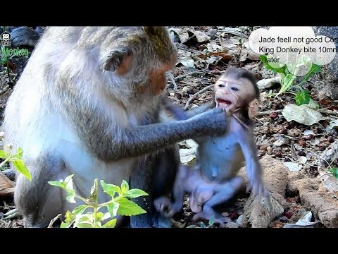 OMG Why Mother monkey drag hard on mouth baby monkey Micah