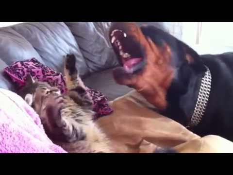 Rottweiler & Cat fight