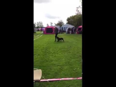 Field Spaniel Otto (Aaron von Holtriem) mit Lisbeth, erste Dog Show