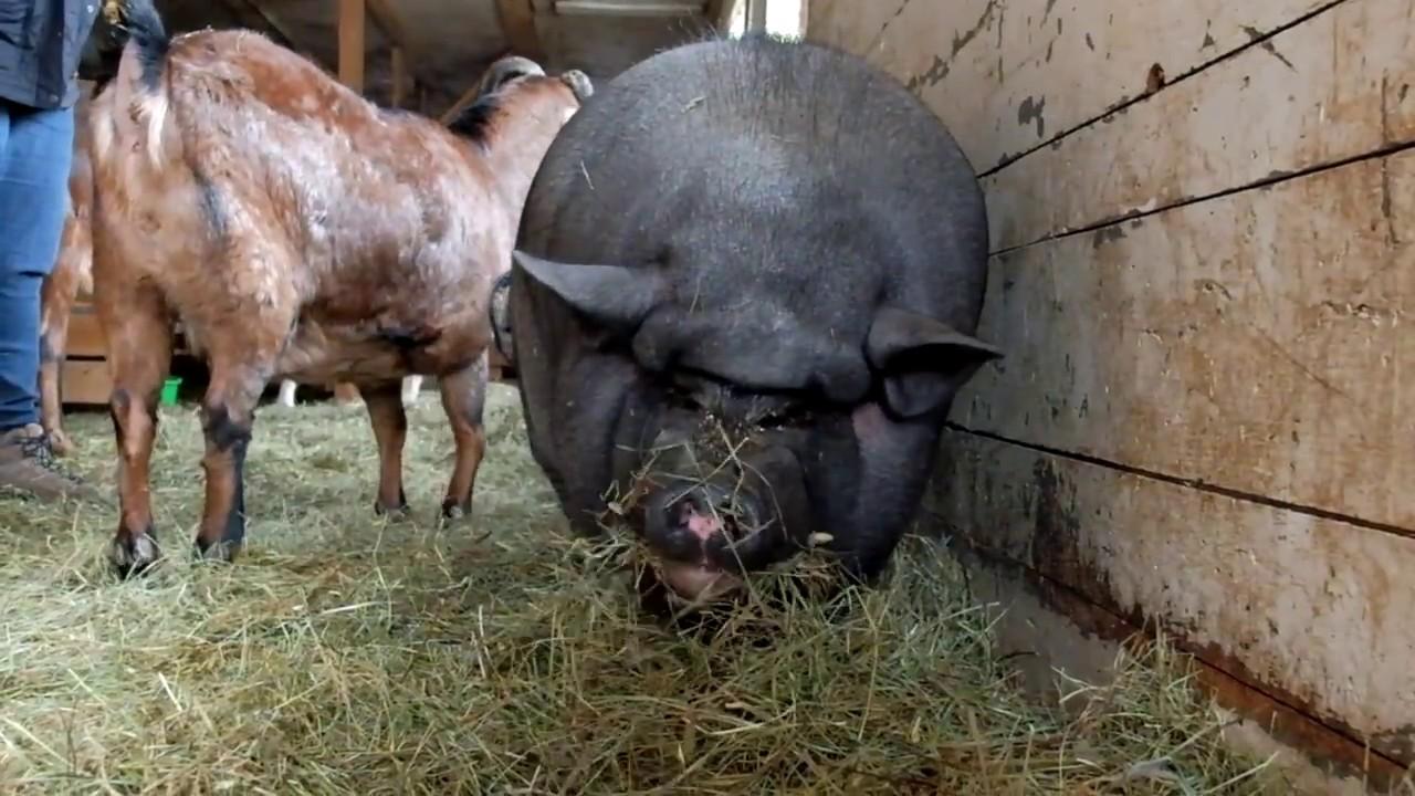 Piggy Smalls At Maple Farm Sanctuary Youtube