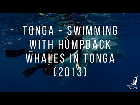 Tonga Swimming with Hump0back Whales in Tonga 2013 season