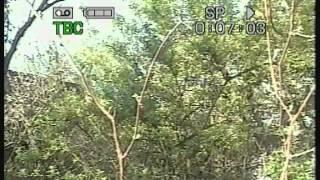 видео Сучки и плодовые звенья