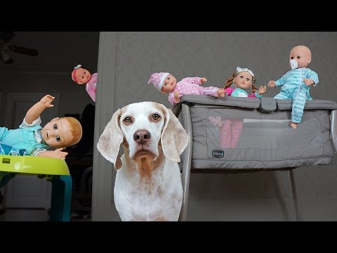 Dog vs Funny Babies Daycare Disaster! Funny Dog Maymo