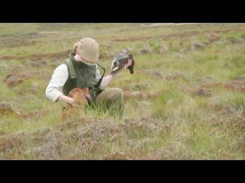 Fieldsports Britain - Grouse over pointers + high pheasants