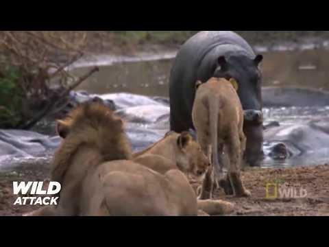Lion vs Hippo   Lion's Jaw is Breaking Off