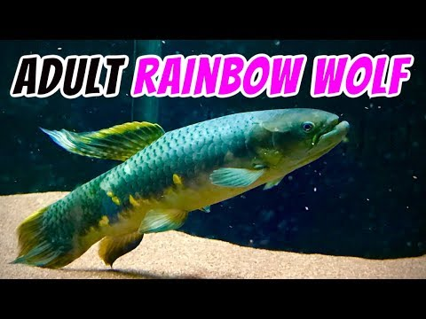 Rainbow Wolf Fish Update! (Erythrinus Erythrinus) - Fully Grown