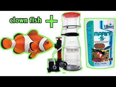 Marine  Saltwater  Aquarium Clown Fish Important Information