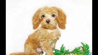 Петербургская орхидея Порода собак