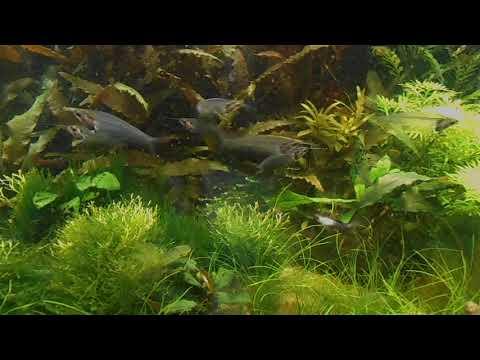 139 Glass Catfish  Sumek Szklisty  Kryptopterus Minor