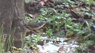 Ashy prinia or Ashy wren-warbler (Prinia socialis) Calls & Bath HD video