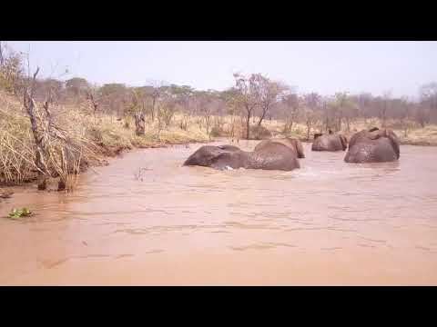 Elephants swimming at Mukuni big 5 Safaris