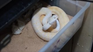 Cleaning a rattlesnake tub!