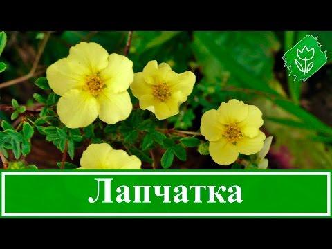 Цветок лапчатка – выращивание и уход, посадка и размножение; лапчатка кустарниковая и белая