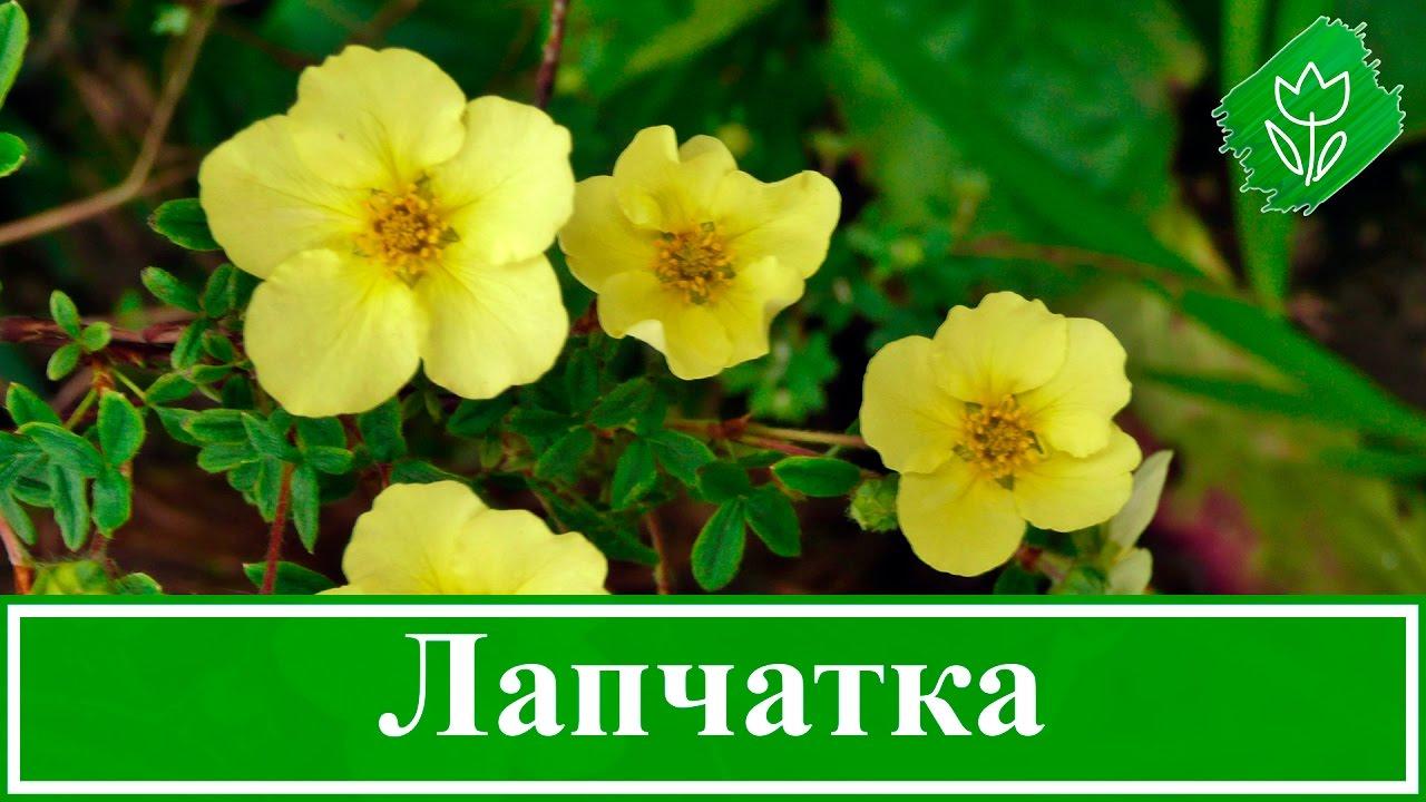 🌻 Цветок лапчатка – выращивание и уход, посадка и размножение; лапчатка кустарниковая и белая