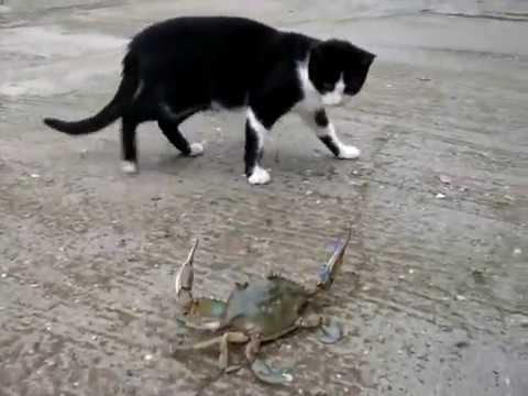 Cats & Crabs Fighting Compilation