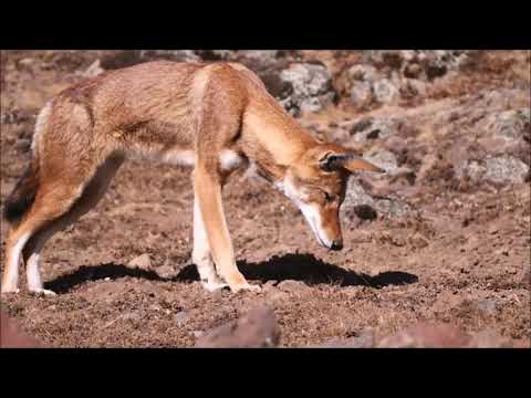 Ethiopian Wolf is on the prowl